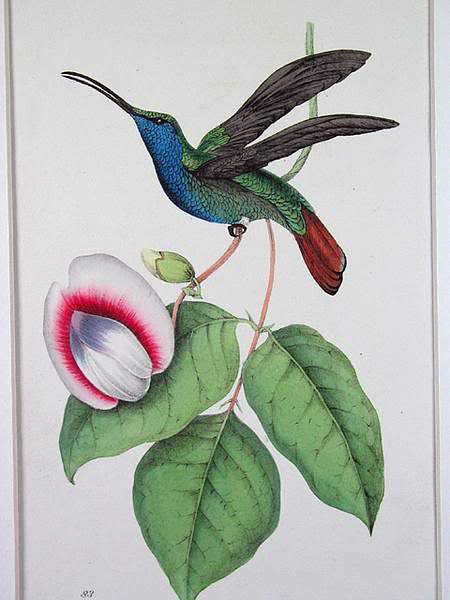 Swainsons Hummingbird - Adapted for 2013 Google Doodle - image found on microecos.wordpress.com